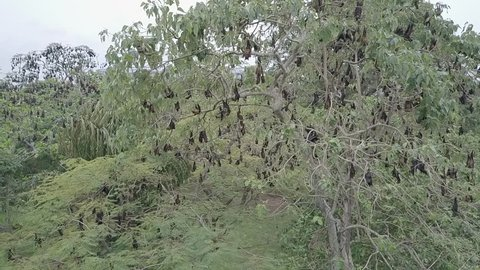 """Bat hanging on a tree branch Malayan bat or """"Lyle's flying fox"""" science names """"Pteropus lylei"""", aerial view shot"""