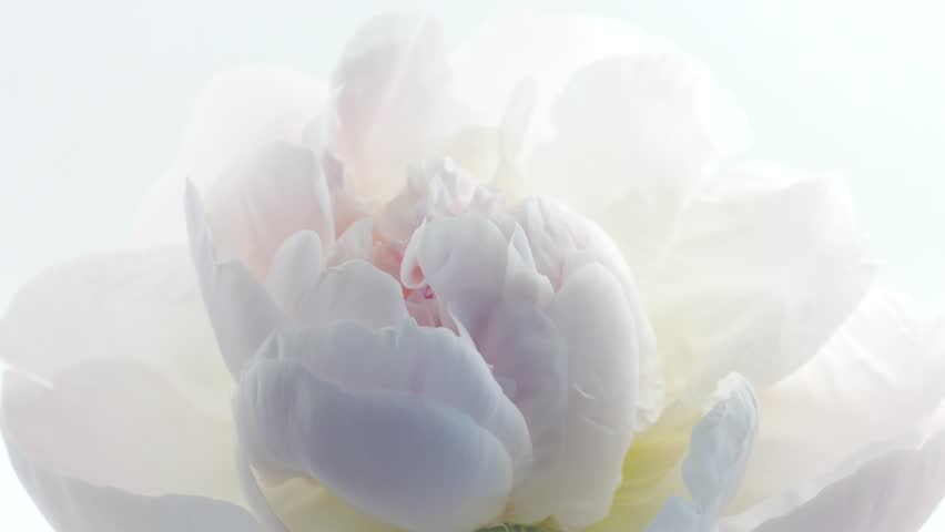 Beautiful white Peony on white background. Blooming peony flower open, time lapse, close-up. Wedding backdrop, Valentine's Day concept. 4K UHD video timelapse