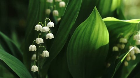 Lily of the valley close up outdoors