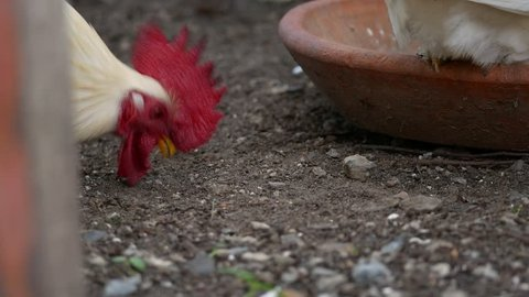 Bantam Chickens Pecking Food to Eat from The Ground