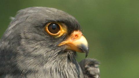 close up shoot head of a grey bird common kestrel (Falco tinnunculus)