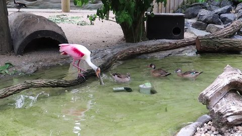 Roseate Spoonbill standing on a branch watching ducks swimming by