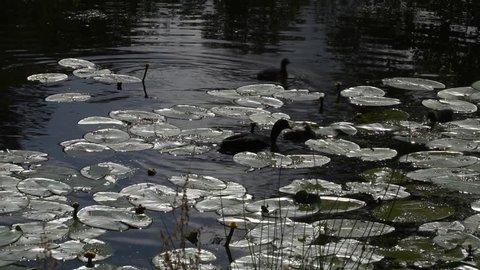 Cote in a pond at Drottningholm in Stockholm
