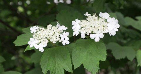 White buds of black elderberry