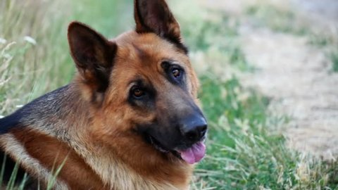 Purebred German shepherd resting in the grass and stares into the camera in the evening. Two years old dog