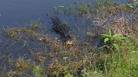 mother alligator comes to her babies