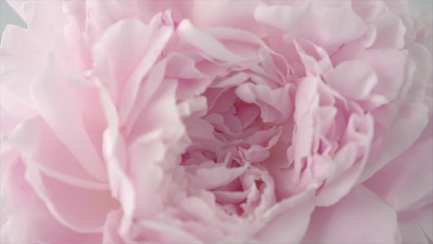 Beautiful pink Peony background. Blooming peony flower rotation, close-up. Wedding backdrop, Valentine's Day concept. Beauty spring romantic rose flower rotated 4K UHD video