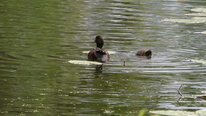Tufted duck with ducklings in a pond at Drottningholm, Stockholm