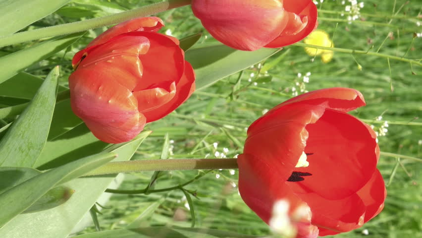 Red tulips in the garden flowerbed swaying in the wind. Closeup shot. Nature sunny summer and spring concept. Vertical format video.