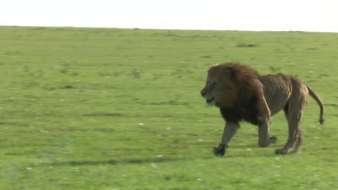 A lion roars and runs toward camera while chasing another lion