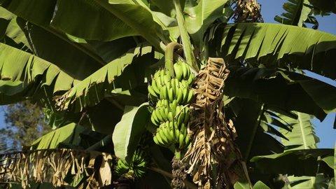 Bundles of bananas growing on a green tree. Bananas growing on tree. A banana tree with a large harvest of green bananas. Banana tree with a bunch of green growing raw banana