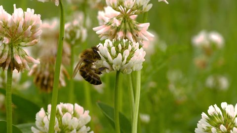 Macro shot of honey bee crawling on head of clover flower, collecting nectar. A group of clover flowers is in the background, with soft focus.
