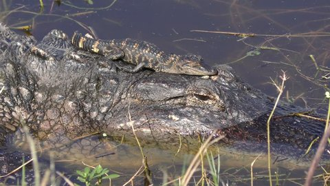 baby alligator sunning on its mother head in Florida lake