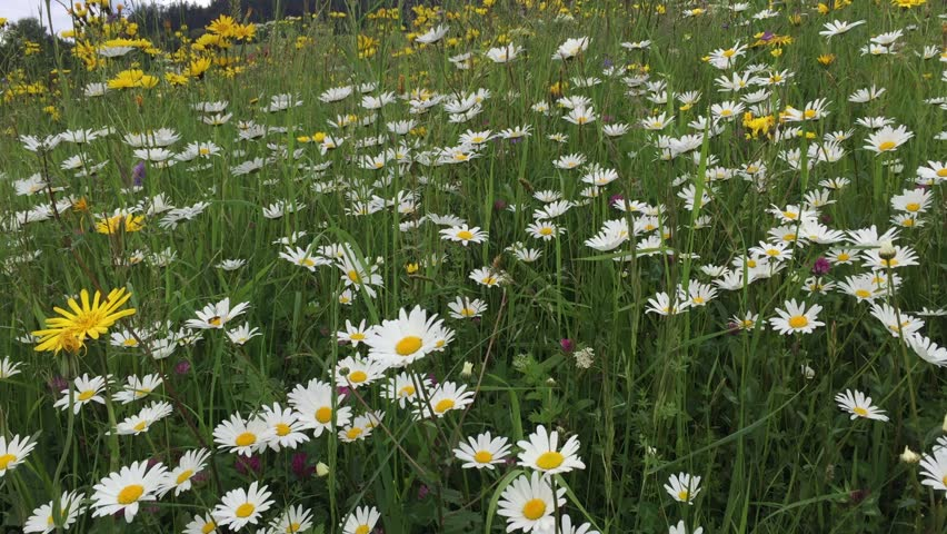 Marguerites in Spring Meadow