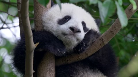 Panda baby bear going to sleep on the tree