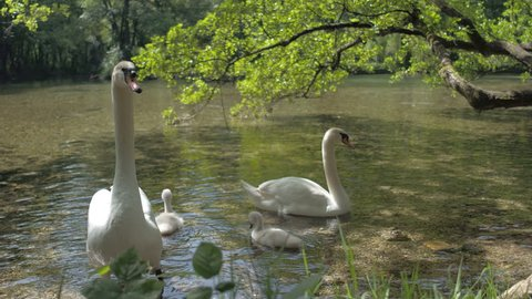Family of swans on beautiful river, amazing nature - Swan eats grass