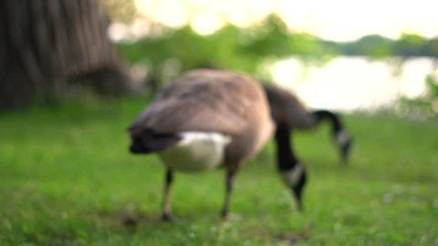 The Canada goose is a large wild goose species native to arctic regions of North America. Extremely successful at living in human-altered areas, they are well known as a common park species.