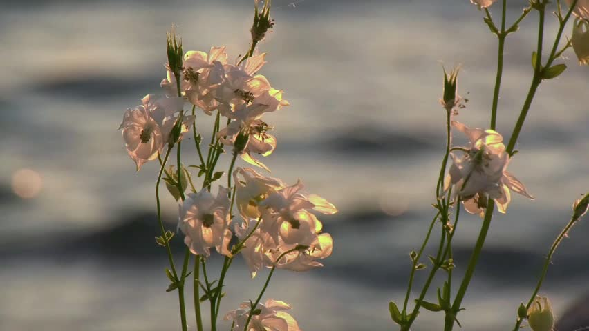 White Columbine Flower in the wind with water in the background