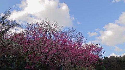 Tui bird feeding on Cherry tree