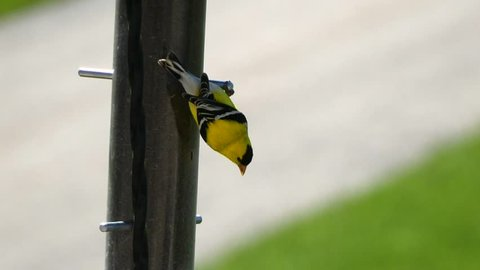 Close up of an American Goldfinch with brilliant plumage eating upside down from a thistle feeder