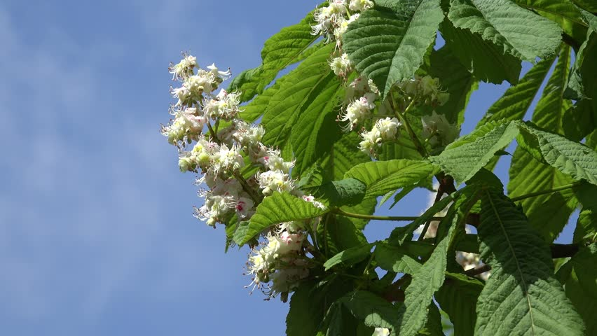 Blooming Chestnut Tree Chromakey Flowers Inflorescence Of Chestnut
