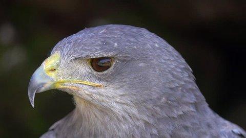 Portrait of Black-Chested Buzzard-Eagle (Geranoaetus melanoleucus)