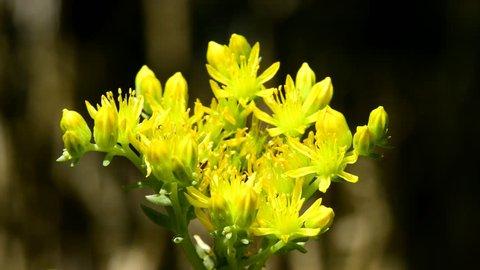 reflexed stonecrop food herb with flower