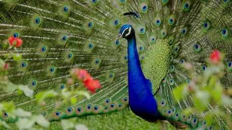 Beautiful peacock close-up
