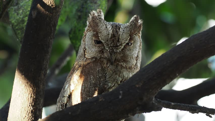 European Scops-Owl (Otus scops) hidden and perched on a branch during daytime.