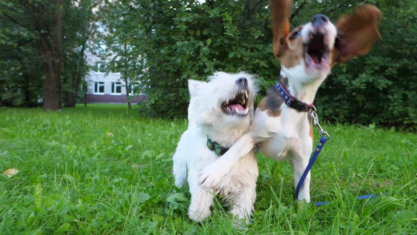 Two small dogs roughhousing at green lawn, open mouths and jaws in playful fight, flying beagle ears in slow motion. Cute doggy play together, white terrier and young scenthound have fun in wrestling | Shutterstock HD Video #1012951169