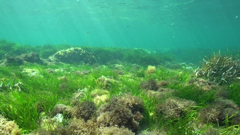Seagrass underwater on a sandy seabed with natural sunlight, Neptune grass Posidonia oceanica, Mediterranean sea, Cabo de Palos, Cartagena, Murcia, Spain
