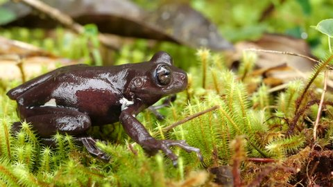Stauffer's Treefrog (Hyloscirtus staufferorum) jumps off mossy ground in slow motion. An endangered frog species from montane rainforest in the Ecuadorian Amazon.