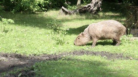 Capybara graze on herbs, Capybara in the national park