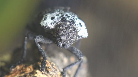 Head of a beetle with large eyes. Woodboring beetle or Capnodis tenebrionis sits on rain under branch, with white dot on chest. Insect macro and close-up