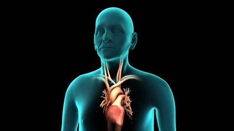 eautifully depicted Respiratory & Cardiovascular System with animated Lungs & pumping Heart from