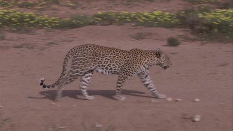 Leopard walking on open pan in the Kalahari