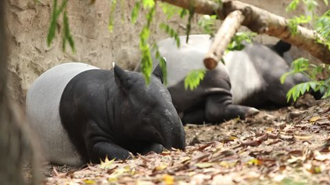 Relaxing Malayan tapirs, tapirs take a nap in sunshine day. Reserved wild animals of Thailand. (Safe wildlife concept)