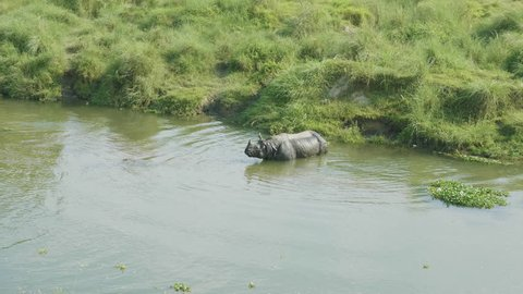 Rhino eats and swims in the river. Chitwan national park in Nepal.