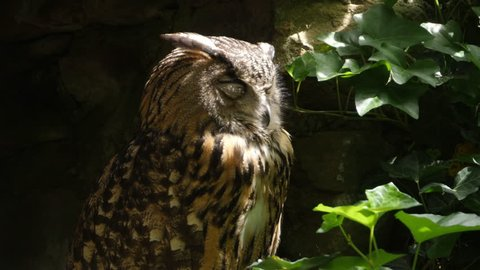 Owl sitting on branch, turns head  slightly to the left