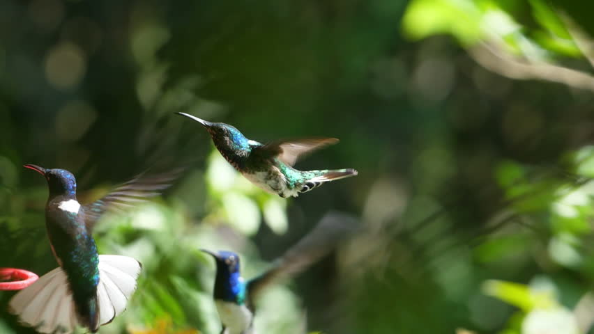 White-necked jacobin birds flying next to the nest slow motion. Known as the great Jacobin or collared hummingbird, is a large hummingbird from the Caribbean Sea. Exuberant tropical animal species. | Shutterstock HD Video #1013337719