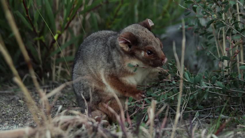 Cute Common Ringtail Possum eats leaves from a plant in the forest in rural Australia