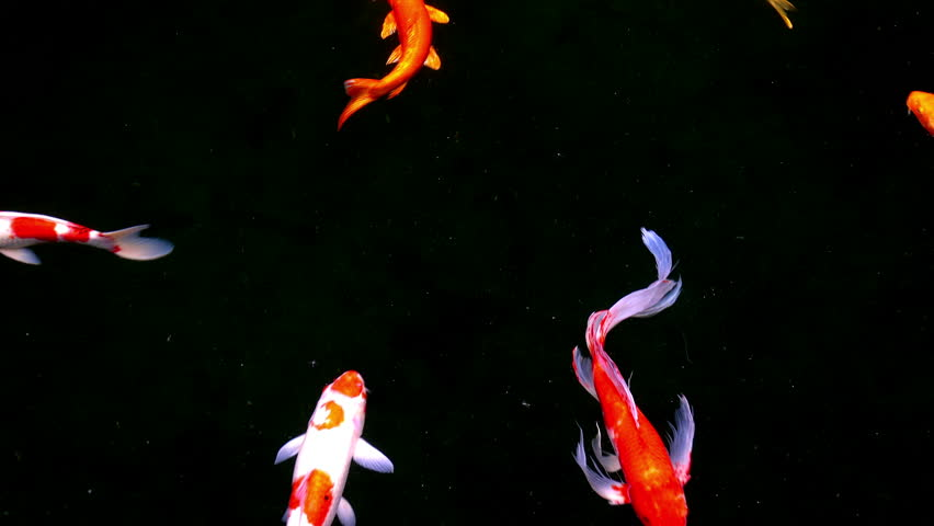 Koi, Fancy carps fish are swimming in water