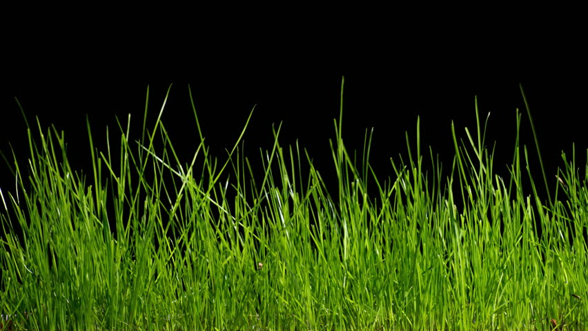 Growing grass time lapse on black bakground