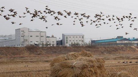 Mallard duck ,a flock mallard duck flying in rise fields After harvest,in winter at Asan city south korea.
