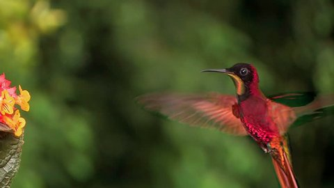 AUSTRALIA - CIRCA 2017 - Extreme close up of a crimson topaz gorget hummingbird hovering in slow motion.