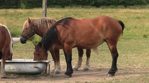 Horses along with a cow drink water from the tub. Meadow and trees in the background.4K, UHD, 50fps,Panning,Closeup,