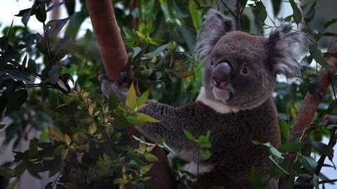 Slow Motion of a cute koala climbing a eucalyptus tree with green leafs in the woodlands at a zoo. Phascolarctos cinereus is an arboreal herbivorous marsupial native to Australia.-Dan