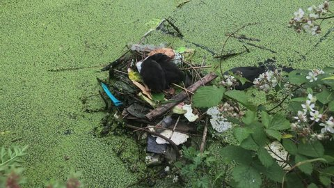 A Coot hen climbs on to a a nest made of twigs, discarded plastic and other trash to feed and defend her two chicks on a duck weed ridden canal.
