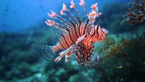 Underwater videography content. a lion fish swimming by the reef in Indonesia, lit up by a video light.
