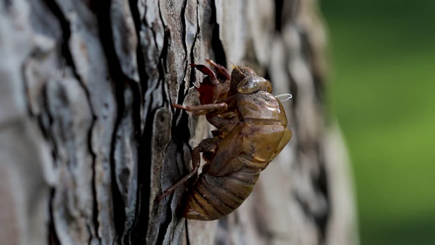 Panoramic view of a discarded cicada shell left behind after the metamorphosis process. Brown hard exoskeleton shell of a cicada nymph hanging from the bark of a tree stump.    Shutterstock HD Video #1013588789
